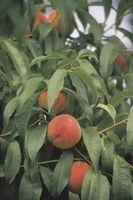 Quali sono i trattamenti per marciume bruno su un albero di pesco?