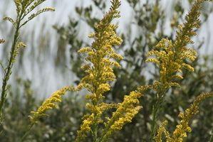 Fiori che crescono nel Adirondacks & Bloom nel mese di agosto