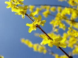 Come far crescere un albero Forsythia