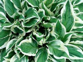 Che tipo di Hosta ha foglie con macchie gialle che cambiano a margini bianchi?