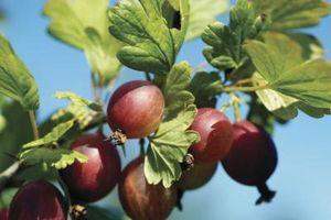 Gooseberry Piantare