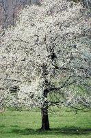 Perché non ha fatto il mio Dogwood albero Bloom?