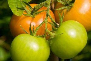 Macchie nere intorno alle piante di pomodoro