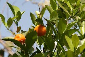 Come coltivare Florida arance navel