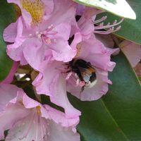 Come trapiantare Rhododendron Mentre fioritura