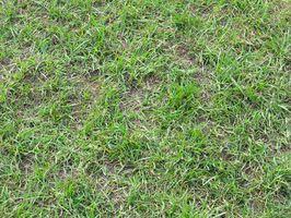 Tipi di erba che crescerà in the Shade