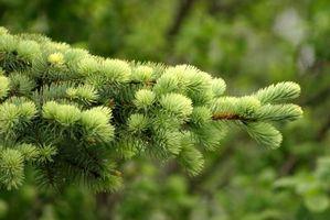Che tipo di Evergreen Ha viola bacche?
