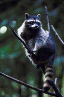 Come Deter Raccoons