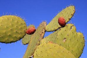 Cosa mangia un cactus?