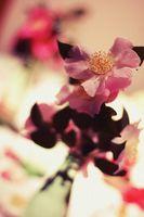 Informazioni sui Camellia Red