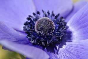Requisiti pH per Anemone giapponese