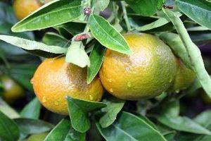 Protezione dal freddo per alberi di agrumi