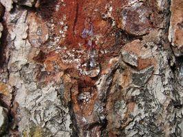 Come estrarre corteccia di pino
