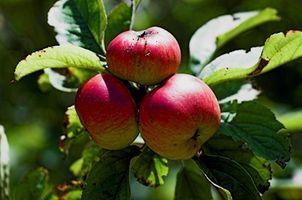 Come coltivare alberi di mele in Georgia