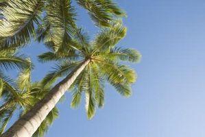 Palm Tree Care Tronco