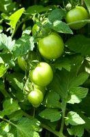 Quali sono le cause bianco vene mie piante di pomodoro?