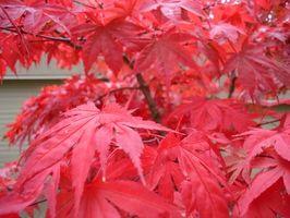 un albero di acero giapponese possono essere potati Quando in fiore?