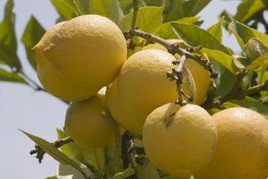 Limoni in Georgia