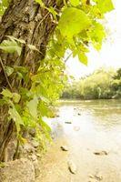 Come rimuovere Poison Ivy Vines sugli alberi