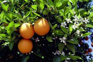 Come coltivare ornamentali Aranci Dal seme