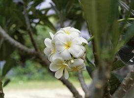 Plumeria Crescita Fiore