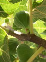 Cura invernale per Fig Trees