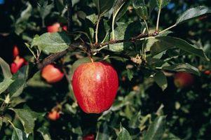 Come innestare un tipo di albero da frutto su un altro diverso Albero da frutto