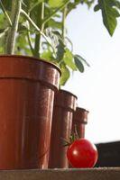 Irrigazione pomodori in POT