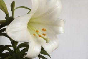 La differenza tra la Pasqua Gigli & Tiger Lilies
