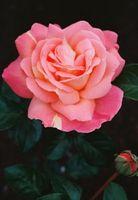 Come coltivare rose rosa a gambo lungo