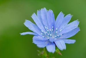 Erbacce alte con grandi fiori blu