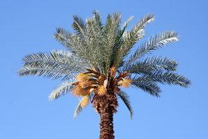Come prendersi cura di & Harvest palme da dattero