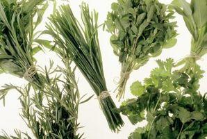Come prendersi cura di origano e aneto e erba cipollina Herb
