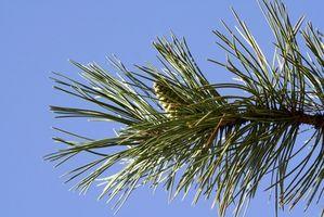 I migliori alberi di pino per Northern Illinois