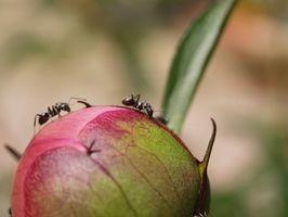 Repellenti naturali per Fire Ants