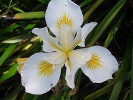 La storia del fiore di Iris