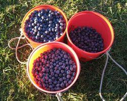 Come proteggere Blueberry Bush dagli uccelli