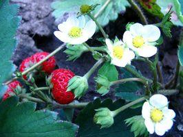 Come proteggere le piante dai fragola Critters