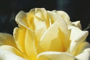 Come prendersi cura di oro Glow Ibridi di Tea Rose