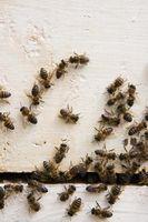 Come mantenere api da costruzione di un nido