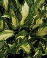 Le piante con il verde e bianco Foglie