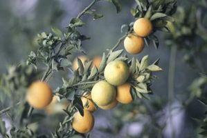 Rimedio per macchie di ruggine sul lato inferiore della Orange Tree Leaves