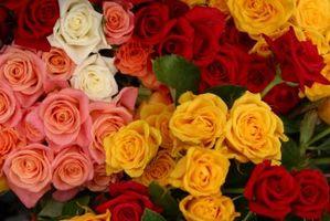 Come propagare Roses ibridi dai tagli