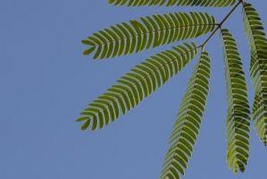 Come piantare Mimosa Pudica