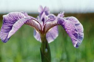 Ciò che gli animali mangiano Iris piante?