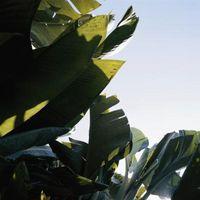 My Red abissino banana foglie si stanno rivolgendo giallo, Droopy & Splitting