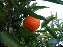 Satsuma Harvest Temperatura