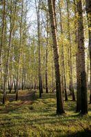 Come tagliare gli alberi oltre quindici Feet Tall