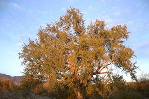 Alberi da ombra in Arizona
