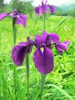 Perché è Iris bianco al posto di Viola?